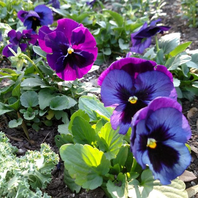 Quick plant the pansies before the Austin temps hit thehellip