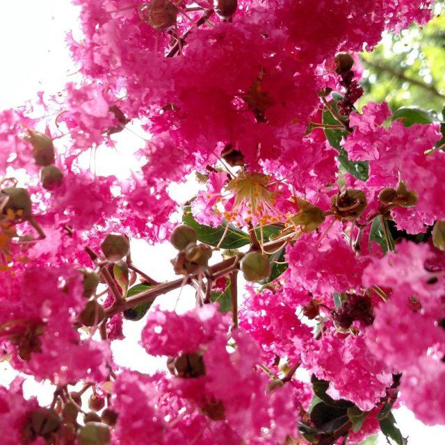 Crape Myrtle Pink