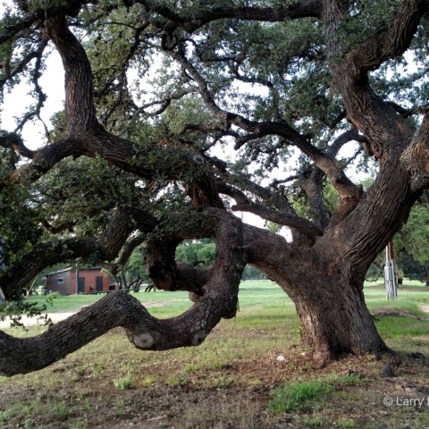 Ancient Oak at Ghost Hill